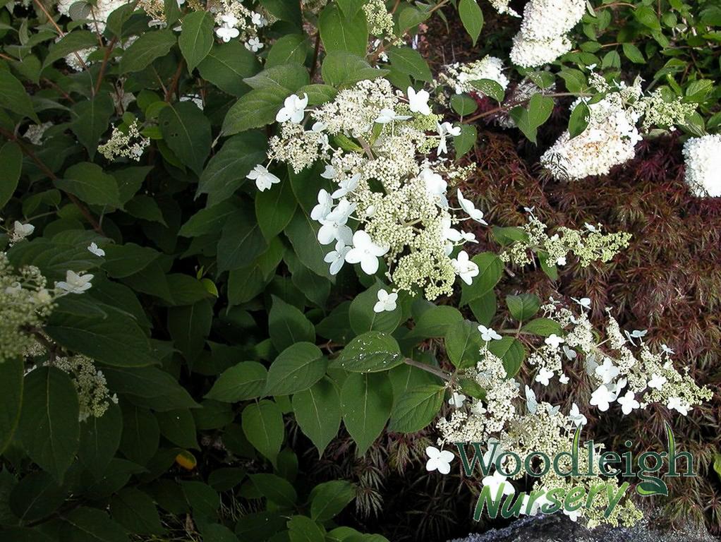 Hydrangea paniculata ssp velutina