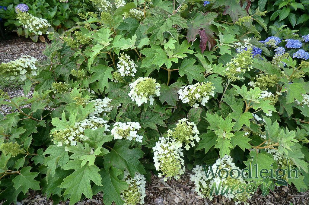 Hydrangea Quercifolia Pee Wee Woodleigh Nursery
