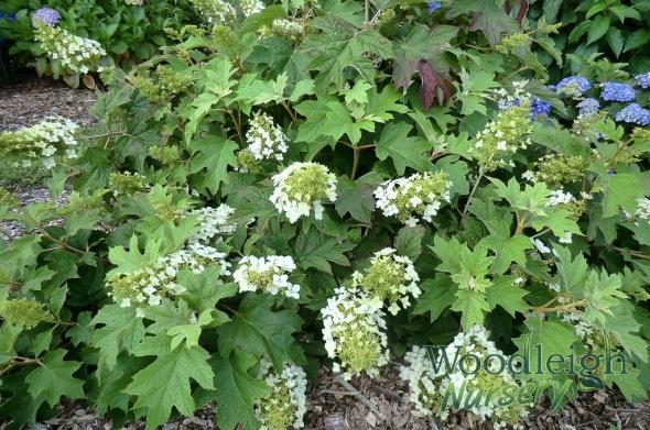 Hydrangea quercifolia Pee Wee