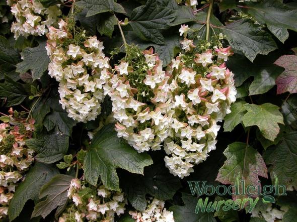 Hydrangea quercifolia Snowflake (antiquing)