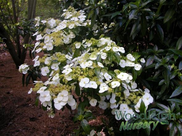 Hydrangea scandens ssp chinensis f. formosana (Taiwan)