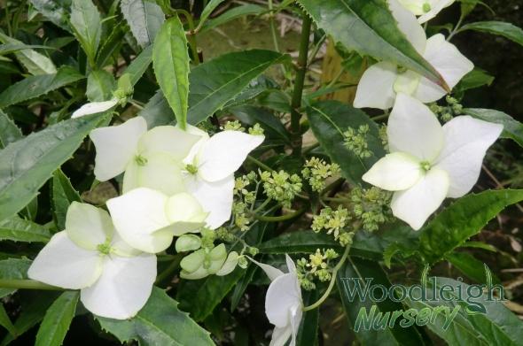 Hydrangea scandens ssp chinensis (Yunan)
