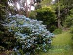 Hydrangea serrata Blue Deckle