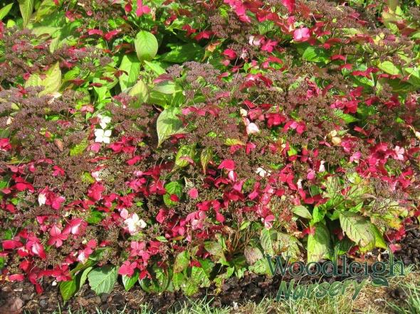 Hydrangea serrata Grayswood – autumn