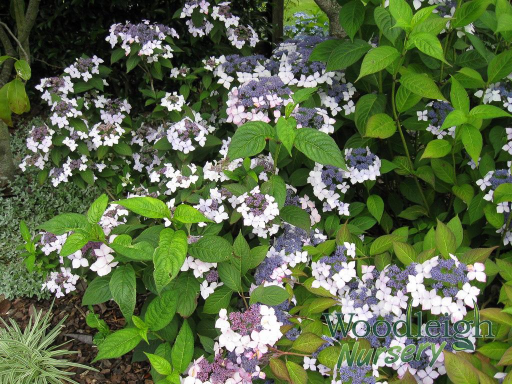 Hydrangea serrata Grayswood