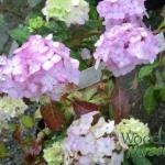 Hydrangea serrata Maiko