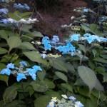 Hydrangea serrata Miyama-yae-Murasaki