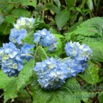 Hydrangea serrata Wryneck
