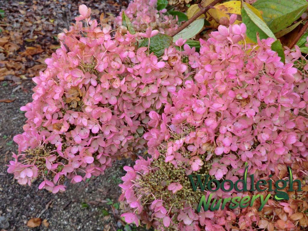 paniculata Grandiflora (autumn)