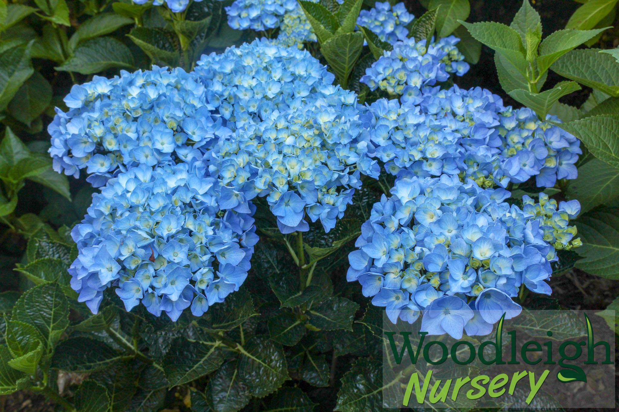 Hydrangea macrophylla Sparkling Sapphire