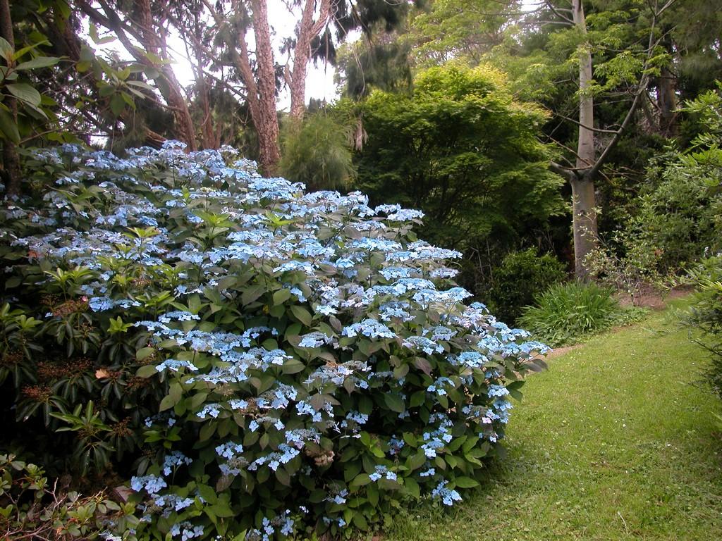 Hydrangea Serrata Blue Deckle Woodleigh Nursery