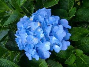 Hydrangea macrophylla Blue Diamond
