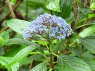 Dichroa Cambridge Blue