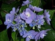 Hydrangea macrophylla Eternity (PVR)