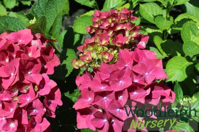 Hydrangea macrophylla Green Shadow