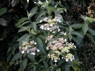 Hydrangea heteromalla
