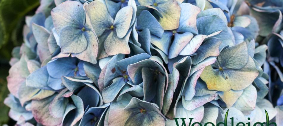 Hydrangea macrophylla Gentian (antiqued)