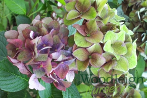 Hydrangea macrophylla Green Shadow