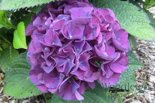 Hydrangea macrophylla Harry's Red (acid)