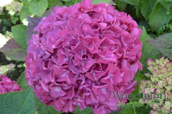 Hydrangea macrophylla Harry's Red