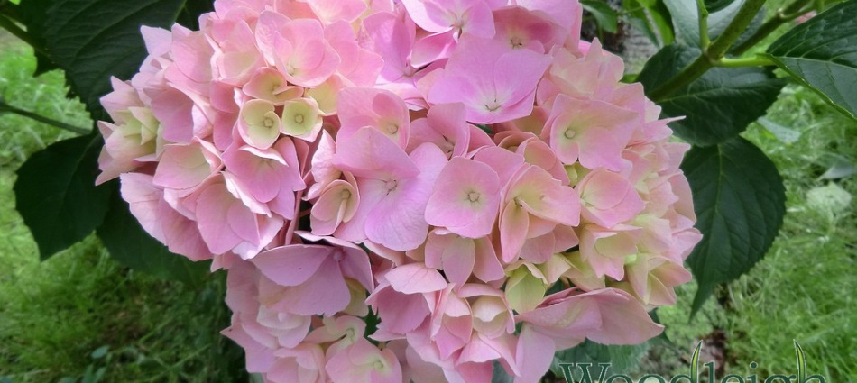 Hydrangea macrophylla Holstein January 2013