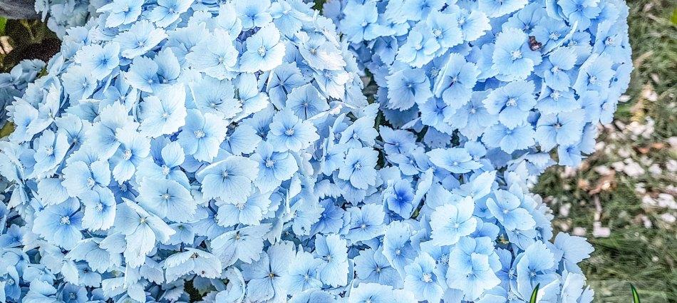 Hydrangea macrophylla Hopaline