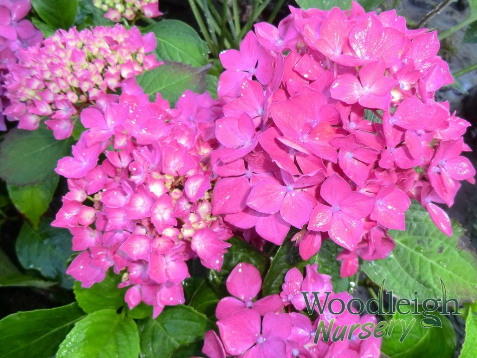 Hydrangea macrophylla Hornli (Success)
