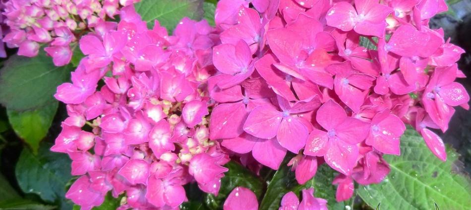 Hydrangea macrophylla Hornli (Success)