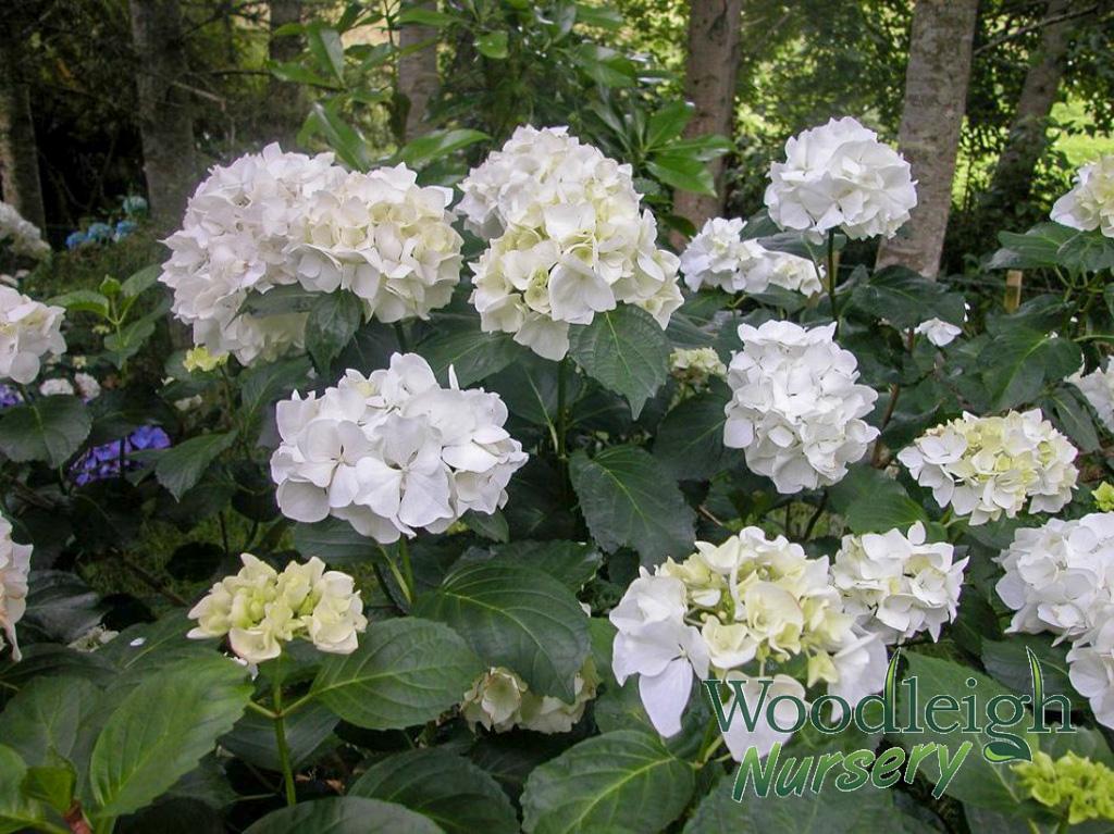 Hydrangea Macrophylla Immaculata Woodleigh Nursery