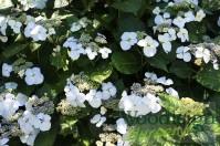 Hydrangea macrophylla Libelle (Teller White)