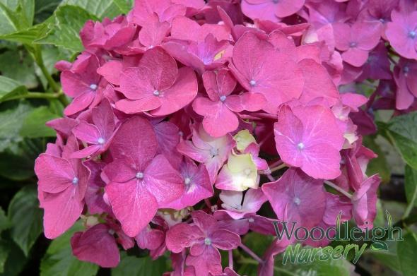 Hydrangea macrophylla Madame Baardse