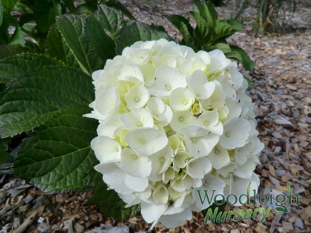 Hydrangea macrophylla Madame Emile Mouillere 2