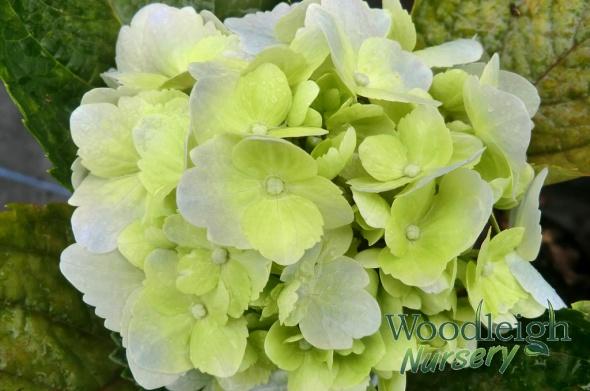Hydrangea macrophylla Madame Truffaut