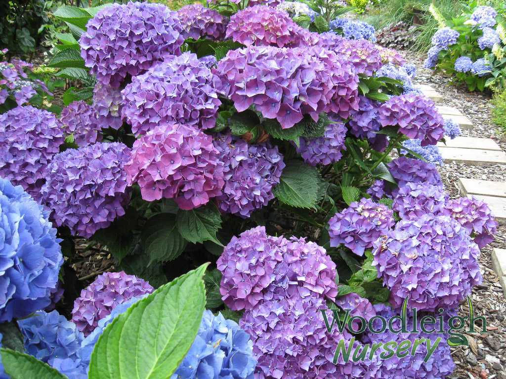 hydrangea macrophylla masja available summer woodleigh. Black Bedroom Furniture Sets. Home Design Ideas