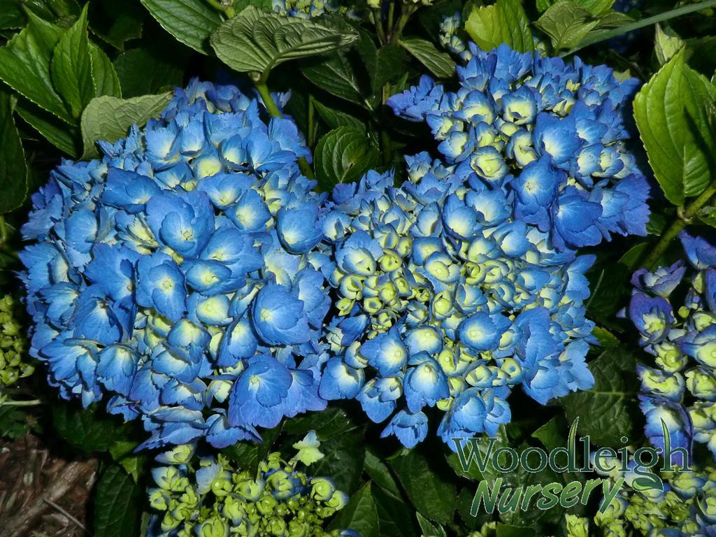 Hydrangea macrophylla Mathilda Gutges