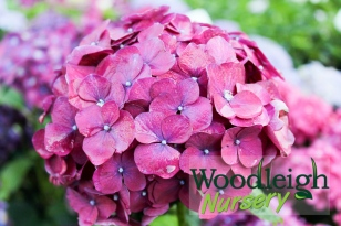 Hydrangea macrophylla Montgomery