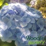Hydrangea macrophylla Mrs Alice Blandy