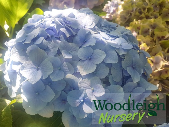 Hydrangea macrophylla Mrs Alice Blandy