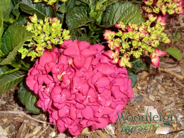 Hydrangea macrophylla Paris (P Red)