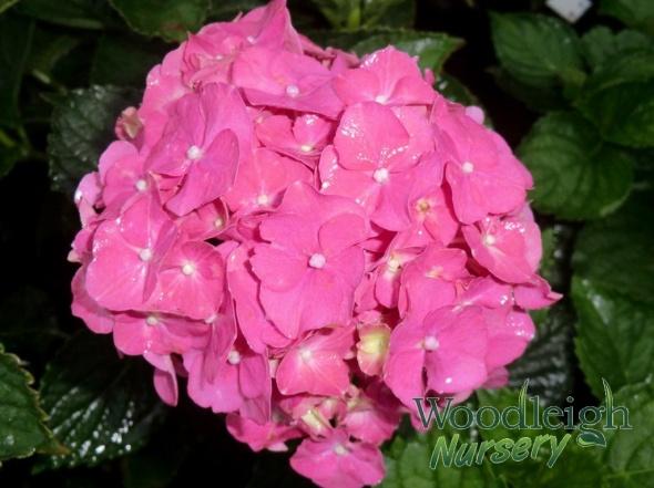 Hydrangea macrophylla Parzifal (Parsifal)