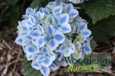 Hydrangea macrophylla Peppermint