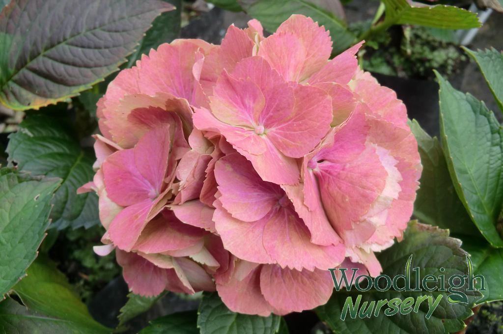 Hydrangea macrophylla Princess Beatrix