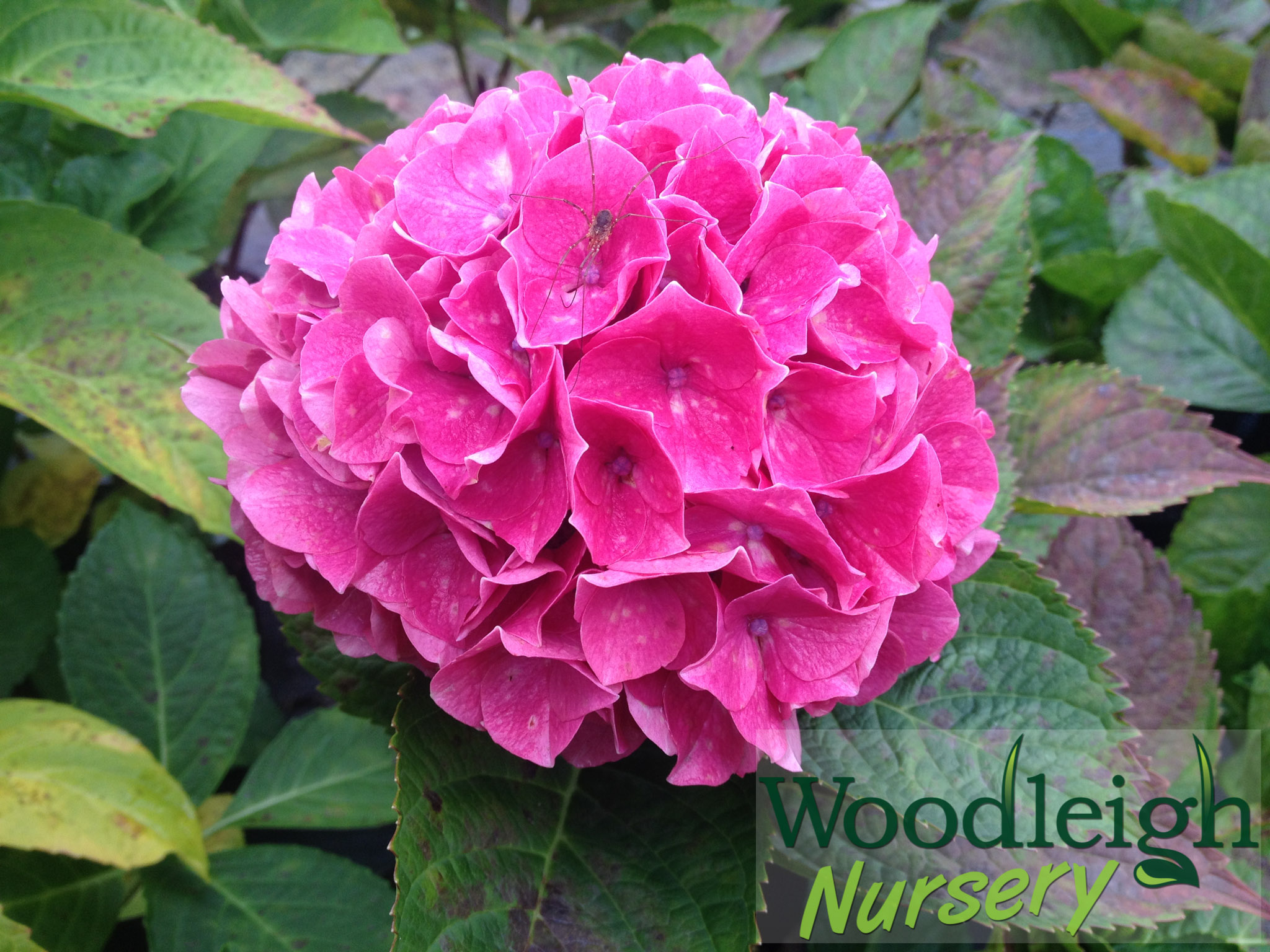 Hydrangea macrophylla Princess Beatrix (2)