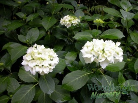Hydrangea macrophylla Princess Juliana