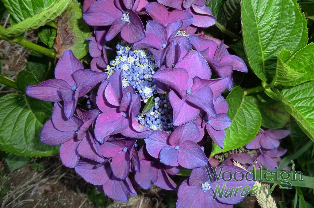 Hydrangea macrophylla Redstart (Rotschwanz) (acid)