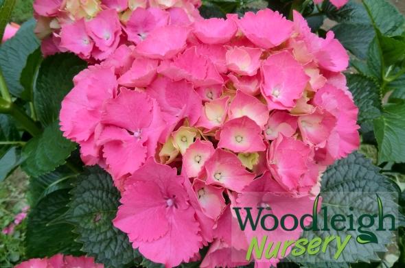 Hydrangea Pink Bouquet