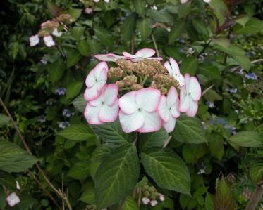 Hydrandea serrata Kiyosumi