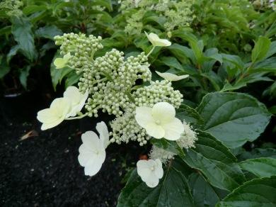 Hydrangea paniculata Kyushu