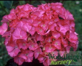 Hydrangea macrophylla Leuchtfeur (Lightfire)