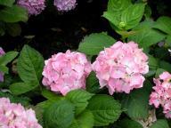 Hydrangea macrophylla Madame Plumecoq